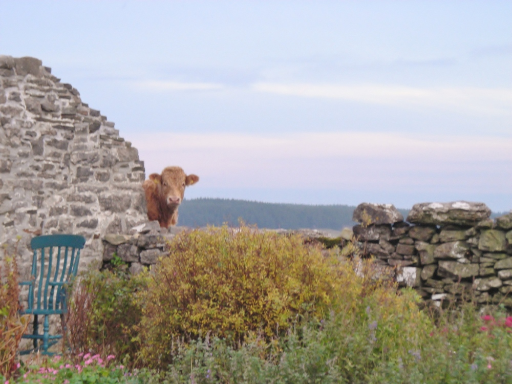 Curious Irish Cow of the Burren
