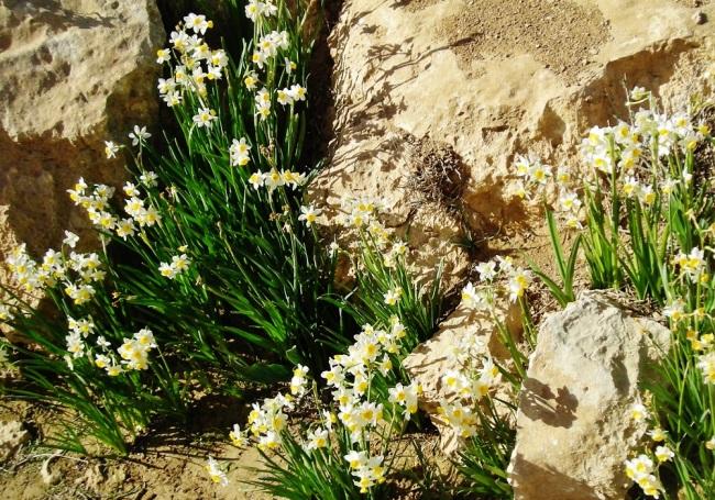 Desert daffodils I