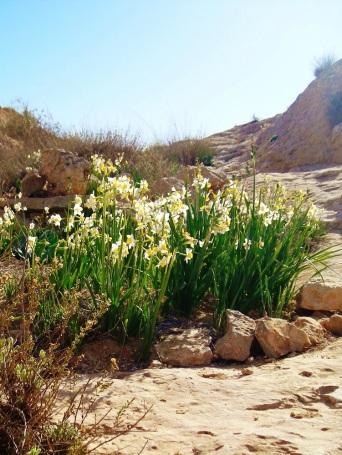 Desert Daffodils II
