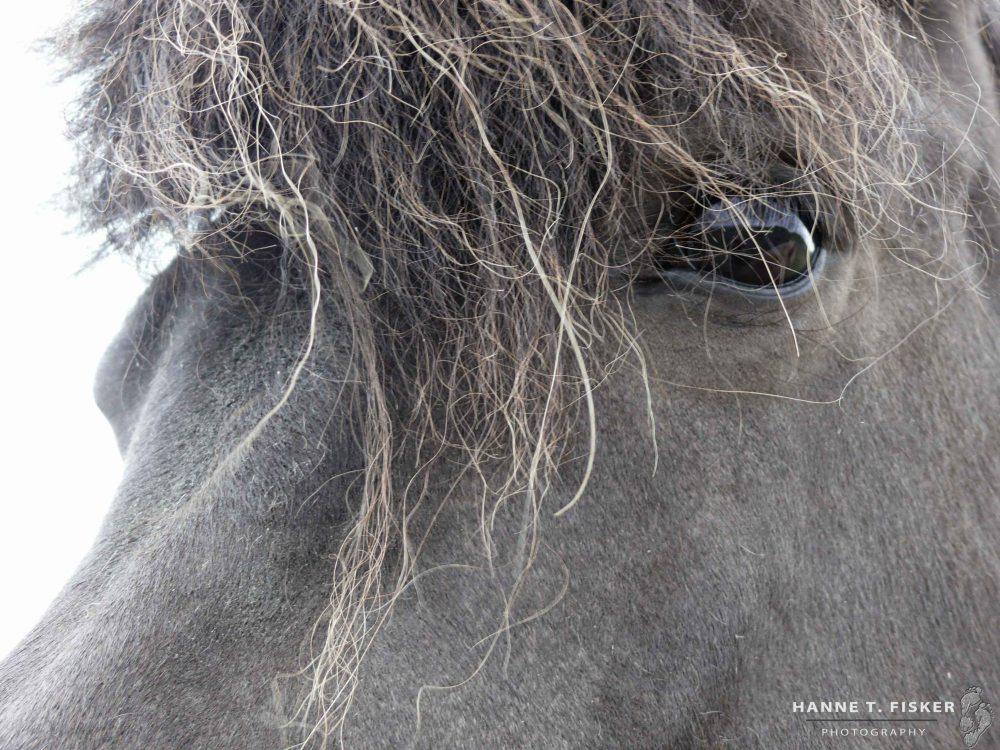 Icelandic Horses (1 of 1)