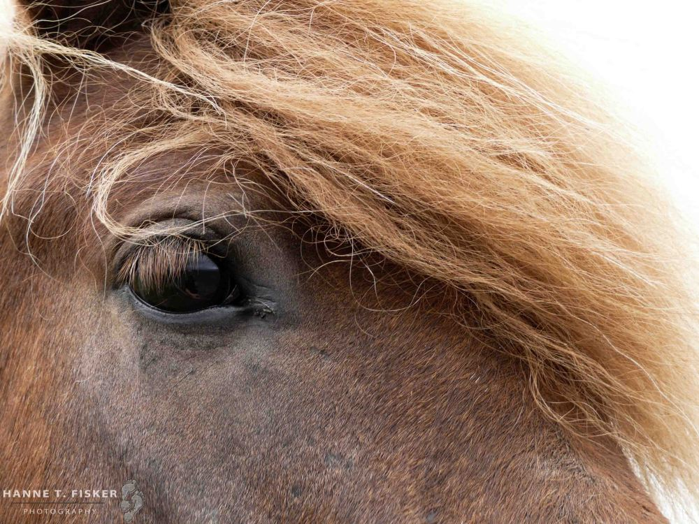 Icelandic Horses (1 of 3)
