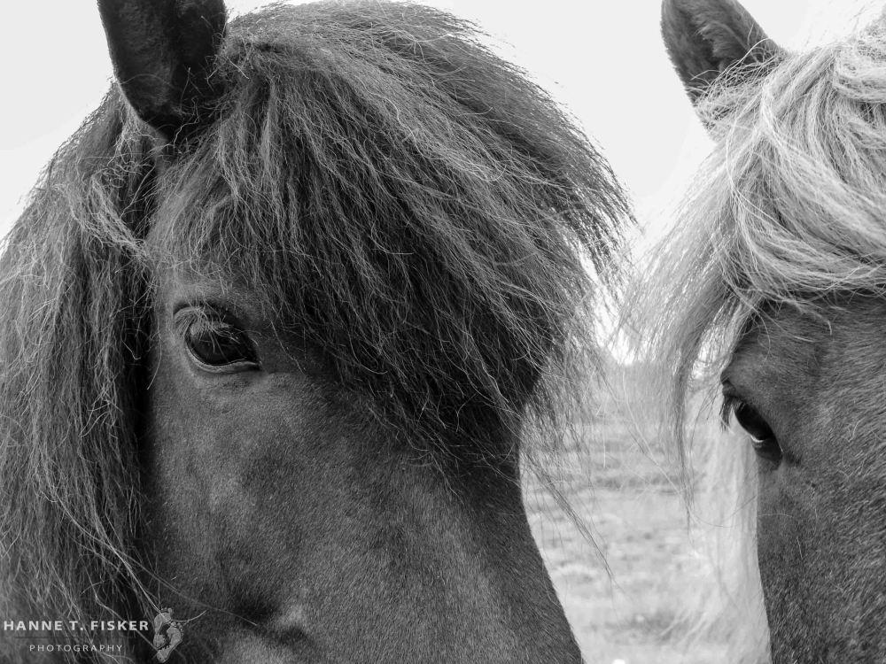 Icelandic Horses (2 of 3)