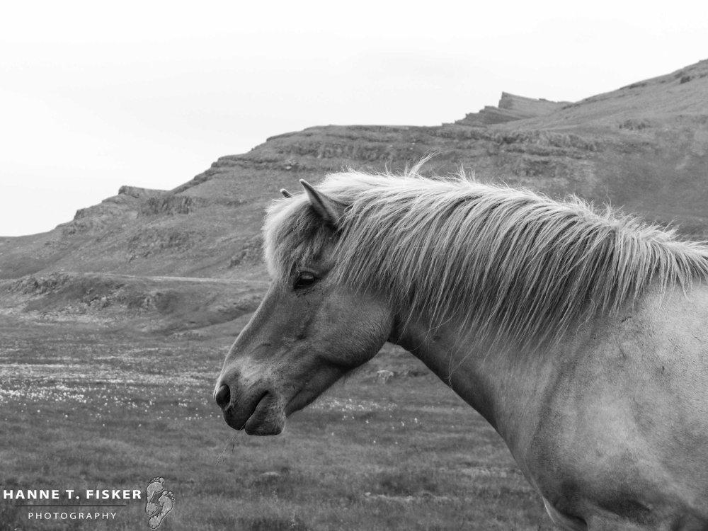 Icelandic Horses (2 of 5)