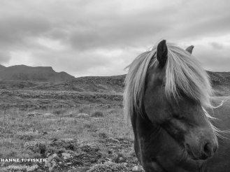 Icelandic Horses (3 of 5)