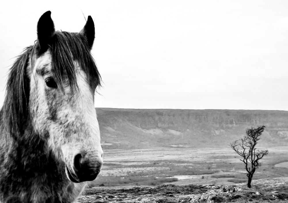 'Burren Horse'