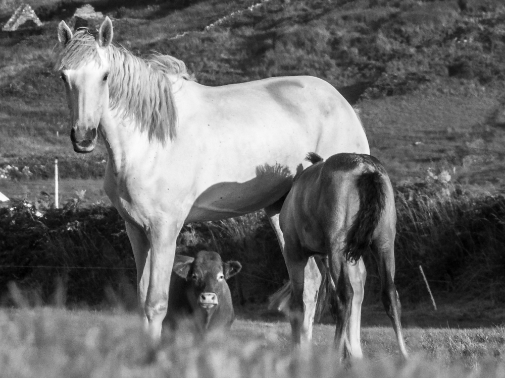 'A Horse, A Foal And A Cow'