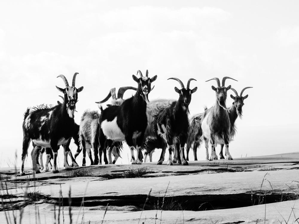'Feral Goats Of The Burren'