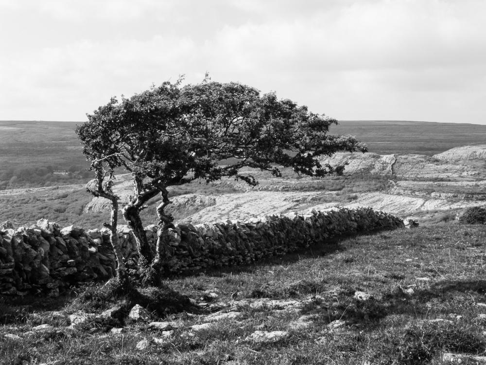 'Burren Tree'